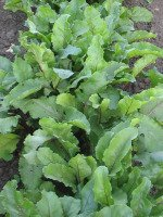 Growing Beets in Garden