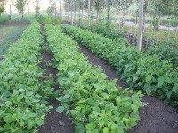 Growing Bush Beans