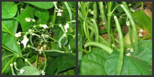 Growing Green Beans Harvesting
