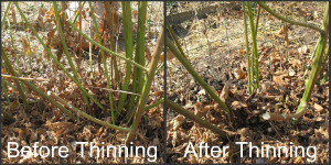 Before and After Thinning Blackberries