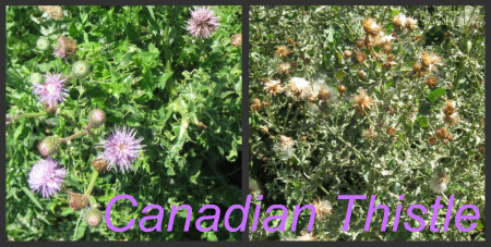 Garden Weeds - Canadian Thistle