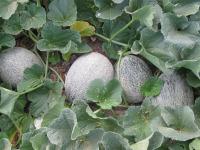 Growing Cantaloupe in Garden