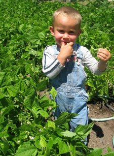 Child Eating Green Beans in Vegetable Garden