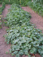 Cucumber Patch