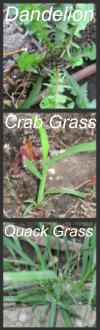 Garden Weeds - Dandelion, Crab Grass, Quack Grass