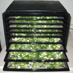 Onions in the Dehydrator