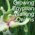 Growing Egyptian Walking Onions