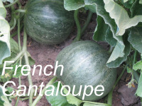 Growing French Cantaloupe