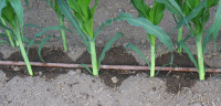 Drip System Corn Close Up