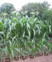 Using the Drip System with Corn