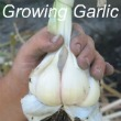 Growing Garlic Bulbs