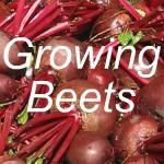 Growing Beets Link