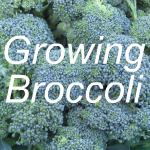 Growing Broccoli Link
