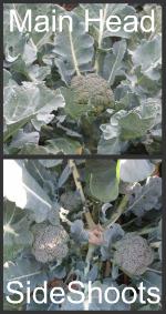 Main Head of Broccoli & Side Shoots