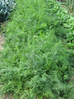 Growing Carrots in Garden