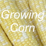 Growing Corn