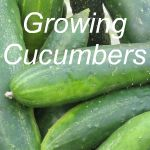 Growing Cucumbers