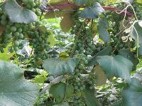 Unripe Grapes on Vine
