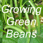 Growing Green Beans Link