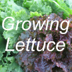 Growing Lettuce Link