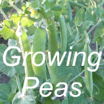 Growing Peas Link