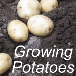 Growing Potatoes Link