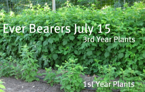 Ever Bearer Raspberries July 15