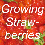 Growing Strawberries Link
