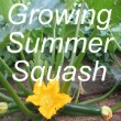 Growing Summer Squash