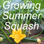 Growing Summer Squash Link