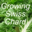 Growing Swiss Chard