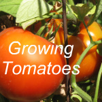 How to Grow Tomatoes Link