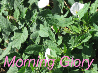 Garden Weeds - Morning Glory