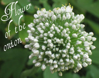 Flower of the Onion
