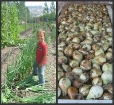 Stepping on Onions before Harvesting and Drying