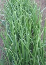 Growing Onions In Vegetable Garden