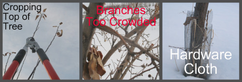 Pruning Apple Trees Pictures 4