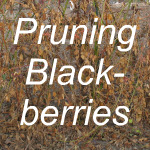 Pruning Blackberries Link