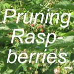 Pruning Raspberries Link