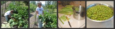 Harvesting and Cutting Rhubarb