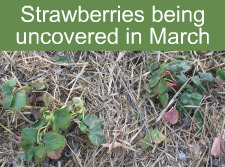Uncovering Strawberries in March