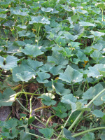 Winter squash Spreading Vines