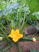Zucchini Summer Squash Plant