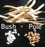 Bush Bean and Pole Bean Seeds