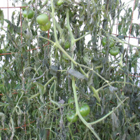 Frozen Tomato Plants