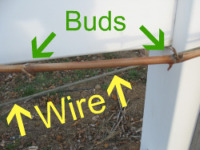 Pruning grapes buds and wire trellis