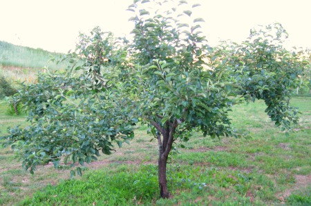 Pruned Apple Tree With Leaves