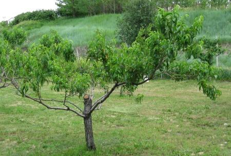 Pruned peach tree summer