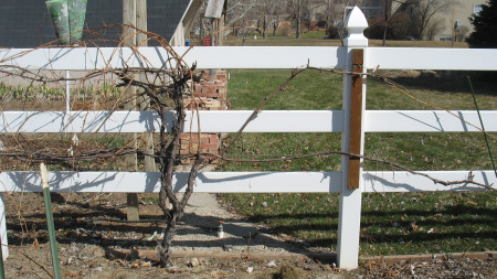 Pruning Grapes Halfway Done