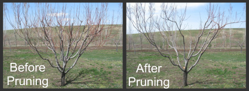 apple tree grafting instructions